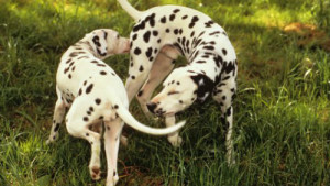 cani che si annusano